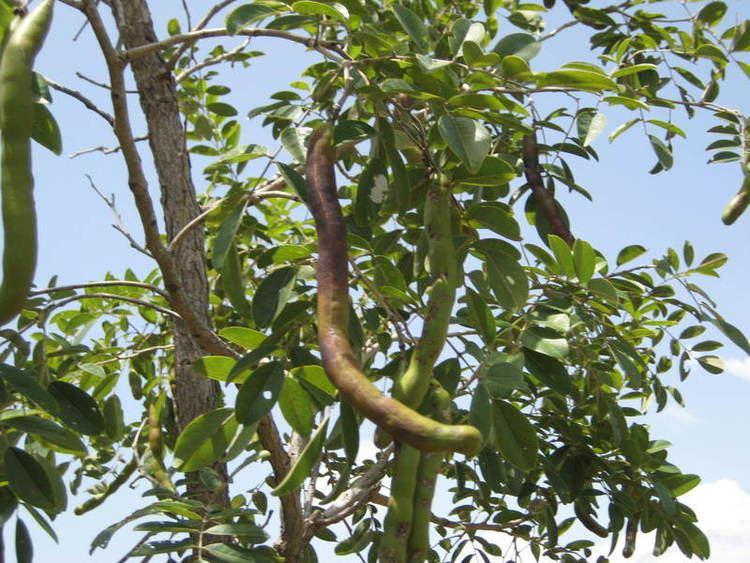 Bobgunnia madagascariensis wwwwestafricanplantssenckenbergdeimagespictur