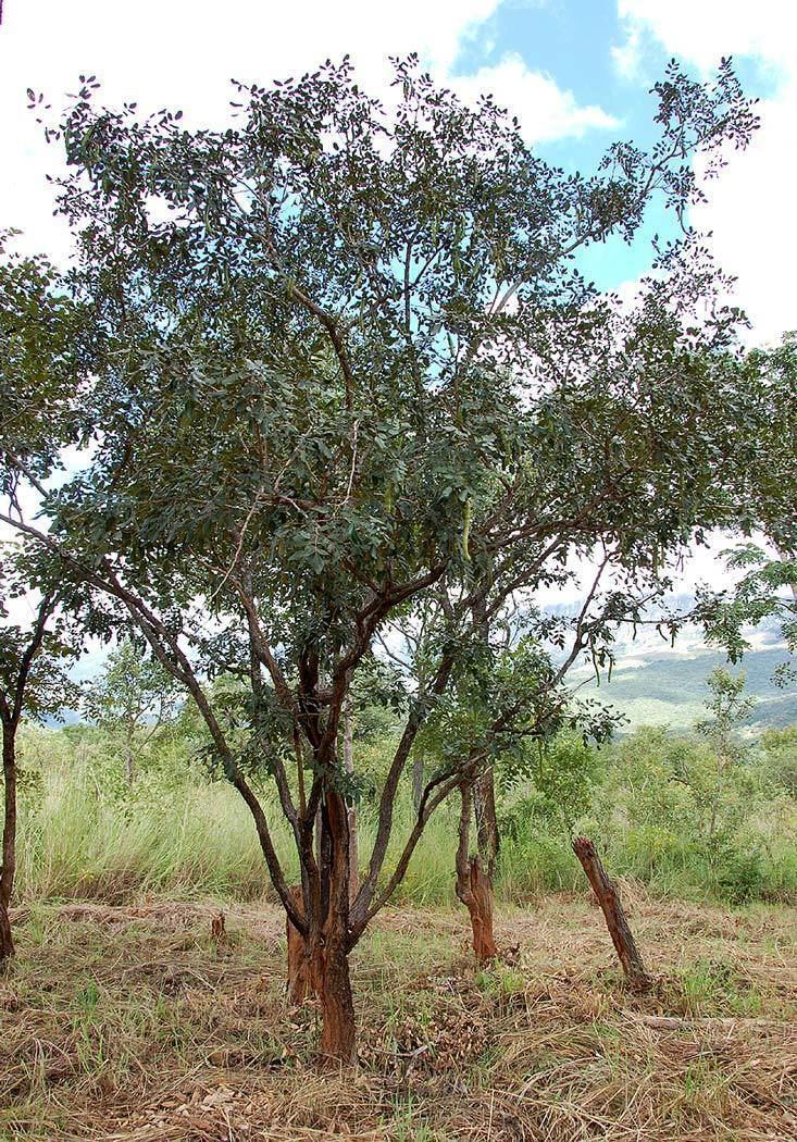 Bobgunnia madagascariensis Flora of Zimbabwe Species information individual images Bobgunnia