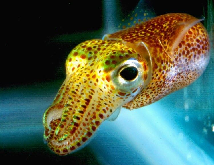Bobtail squid The Hawaiian Bobtail Squid and its Crazy Tricks Featured Creature