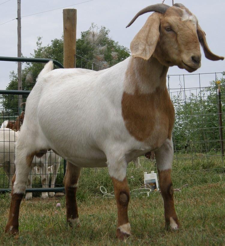 Boer goat - Alchetron, The Free Social Encyclopedia