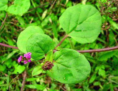 Boerhavia Boerhavia diffusa L Species India Biodiversity Portal