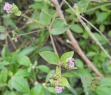 Boerhavia Boerhavia diffusa Wikipedia