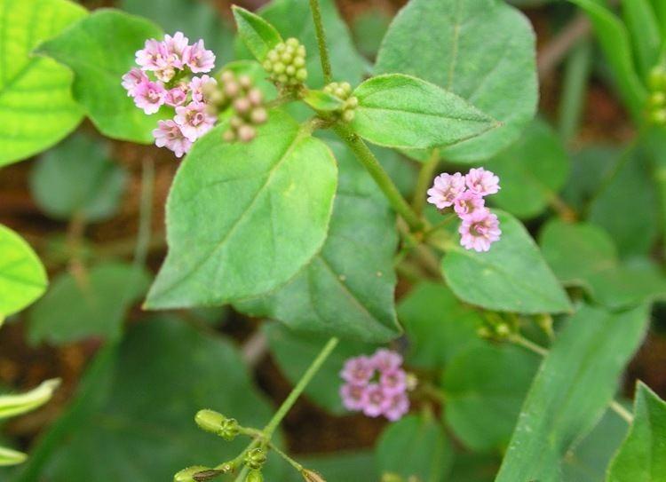 Boerhavia diffusa Boerhavia diffusa