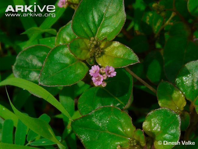 Boerhavia diffusa Boerhavia videos photos and facts Boerhavia diffusa ARKive