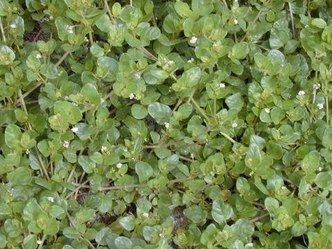 Boerhavia Boerhavia repens Useful Tropical Plants