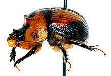 Bolboceratidae httpsuploadwikimediaorgwikipediacommonsthu