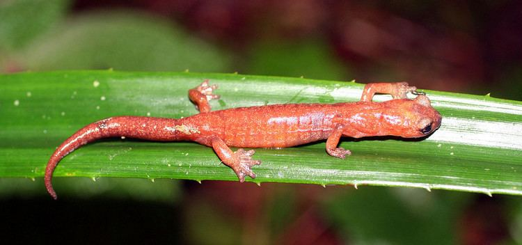 Bolitoglossa Celaque climbing salamander Wikipedia