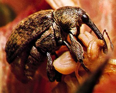 Boll weevil boll weevil insect Britannicacom