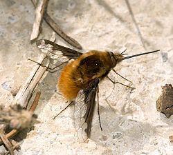 Bombyliidae Bombyliidae Wikipedia