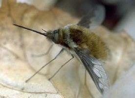 Bombyliidae Bombyliidae