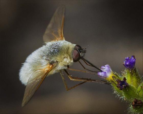 Bombyliidae Bombyliidae Bee flies ID please Systoechus candidulus BugGuideNet