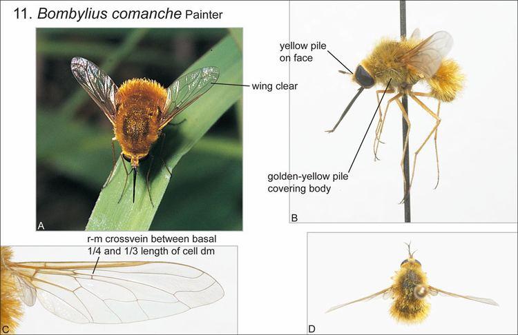 Bombylius Key to Bombylius species