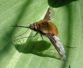 Bombylius Bombylius Wikipdia