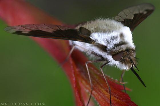 Bombylius Bee Fly Bombylius British Columbia Bombylius anthophilus