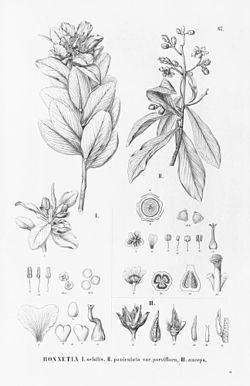 Bonnetiaceae httpsuploadwikimediaorgwikipediacommonsthu