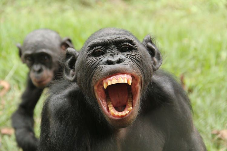 Bonobo Bonobos know when others are being treated unfairly and react