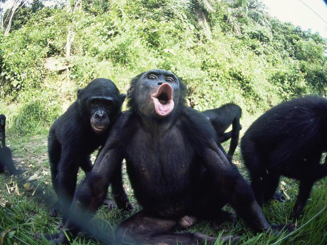 Bonobo Bonobo Species WWF