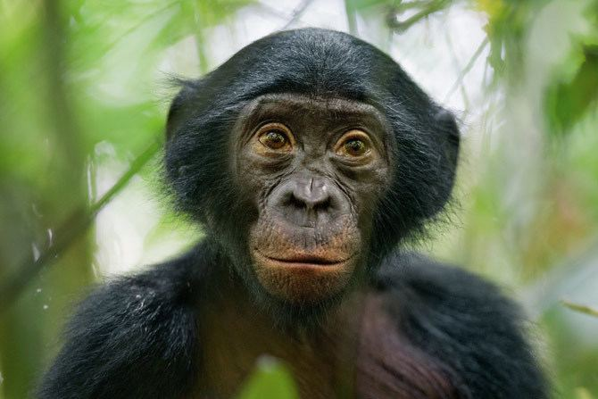 Bonobo The Wild Life of a Bonobo Photo Gallery Pictures More From