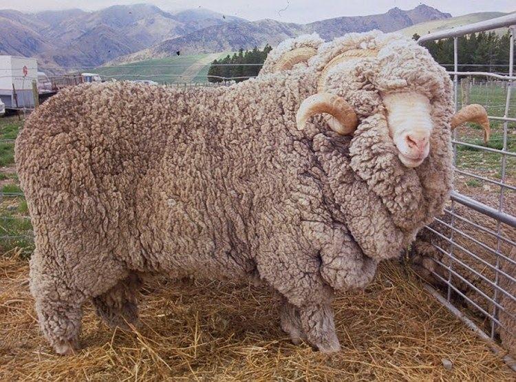 Booroola Merino Booroola Merino Sheep Sheep Breeds Raising Sheep