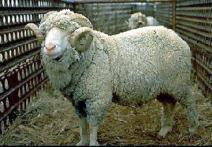 Booroola Merino Breeds of Livestock Booroola Merino Sheep Breeds of Livestock
