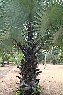 Borassus Borassus Wikipedia
