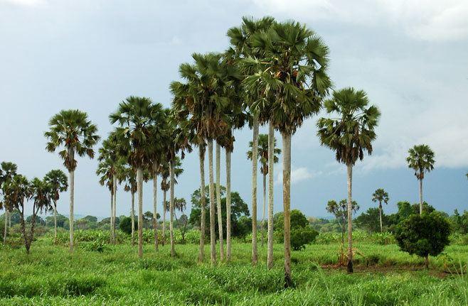 Borassus Borassus aethiopum Borassus palm African fan palm Selati palm