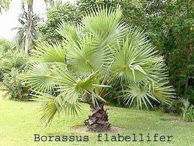 Borassus Details information on Borassus flabellifer Tal Medicinal plant