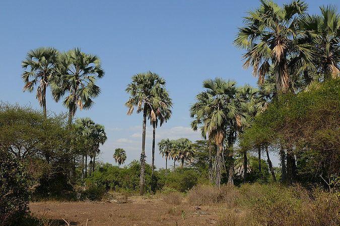 Borassus Borassus aethiopum Palmpedia Palm Grower39s Guide