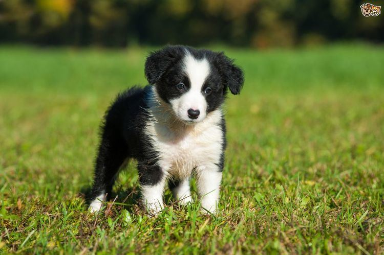 Border Collie Border Collie Dog Breed Information Facts Photos Care Pets4Homes