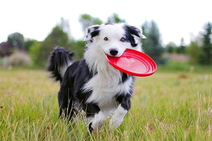 Border Collie Border Collie Dog Breed Information Pictures Characteristics