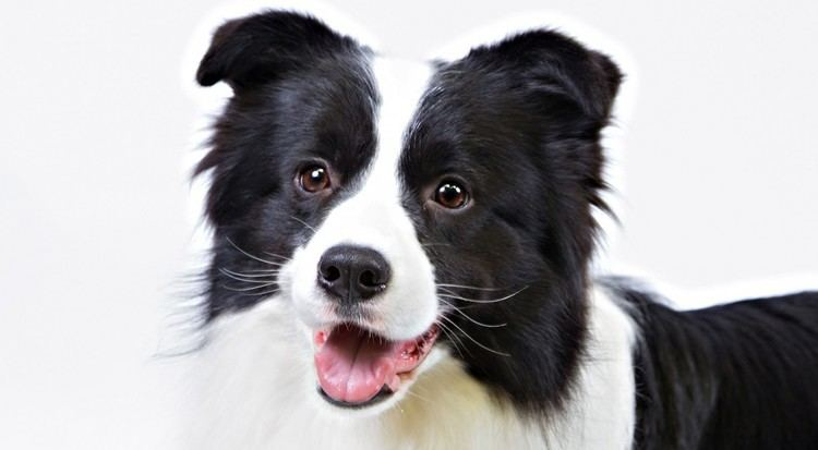 Border Collie Border Collie Dog Breed Information American Kennel Club