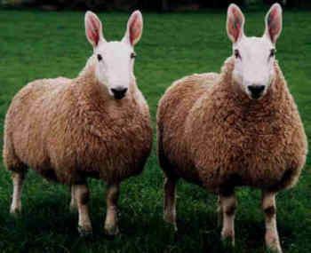 Border Leicester sheep Sheep 101 Sheep Breeds BeBr