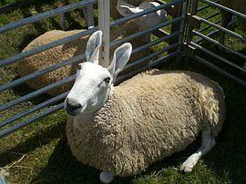 Border Leicester sheep Border Leicester sheep Wikipedia