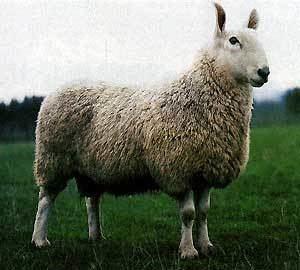 Border Leicester sheep wwwansiokstateedubreedssheepborderleicester