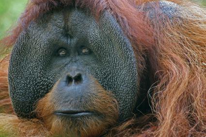 Bornean orangutan Bornean Orangutan Facts Endangered Animals