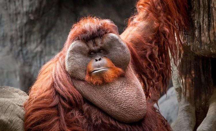 Bornean orangutan Bornean Orangutan Facts Habitat Diet Life Cycle Baby Pictures