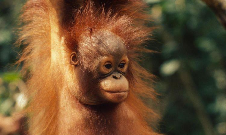 Bornean orangutan assetsworldwildlifeorgphotos1150imagesstory
