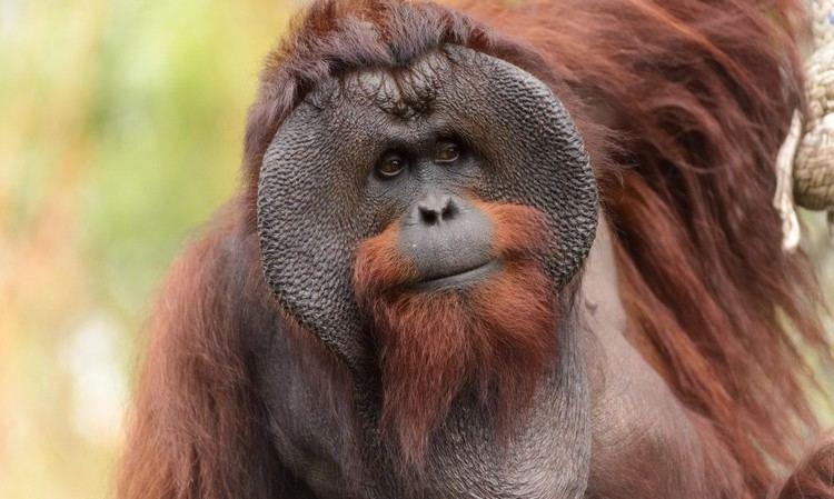 Bornean orangutan Bornean orangutans now 39critically endangered39 says IUCN
