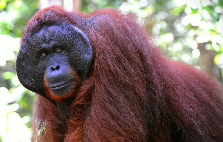 Bornean orangutan Bornean Orangutan Pongo pygmaeus about animals