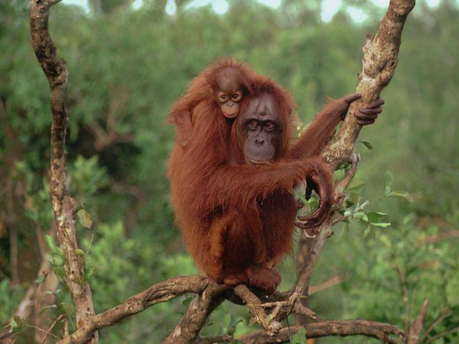 Bornean orangutan Bornean Orangutan Species WWF