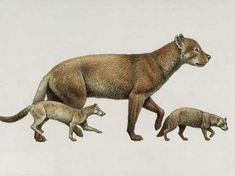 Borophagus Extinct Dog Ancestors Archaeocyon Phlaocyon and Borophagus Giclee