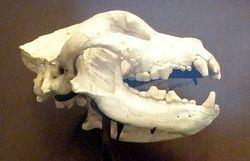 Borophagus Borophagus Wikipedia