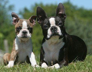 Boston Terrier Boston Terriers What39s Good About 39Em What39s Bad About 39Em