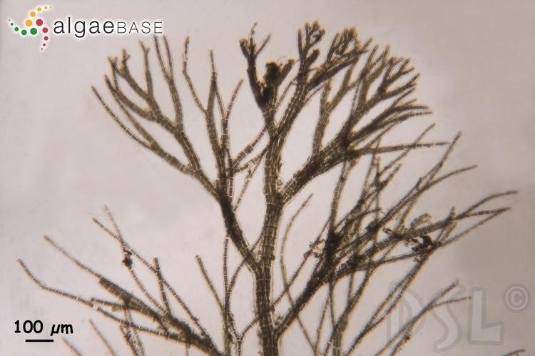 Bostrychia (alga) Bostrychia moritziana Sonder ex Ktzing JAgardh Algaebase