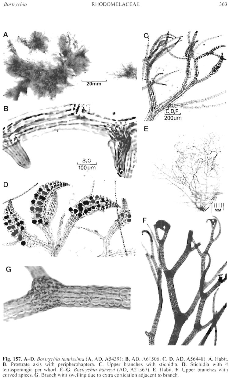 Bostrychia (alga) Bostrychia tenuissima State Herbarium of South Australia