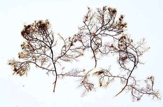 Bostrychia (alga) Bostrychia Algae Related Keywords amp Suggestions Bostrychia Algae