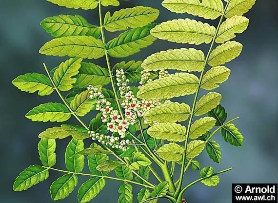 Boswellia serrata Boswellia Serrata 60 Buy from Konark Herbal amp Health Care India