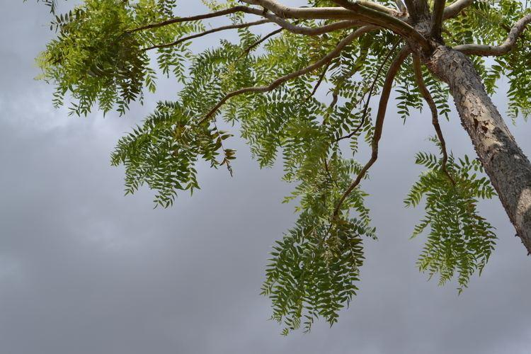 Boswellia serrata Boswellia serrata Useful Tropical Plants