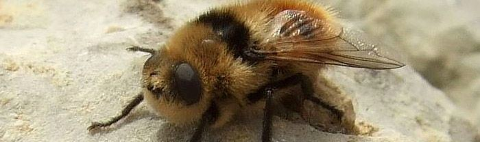 Botfly Why the botfly is one of the most terrifying organisms on the planet