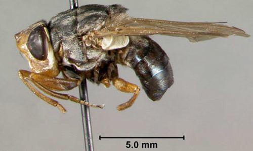 Botfly human bot fly Dermatobia hominis Linnaeus Jr